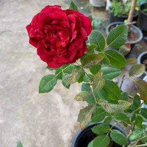 janice kellogg rose